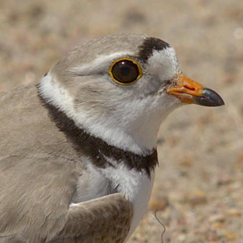 Image of piping plover