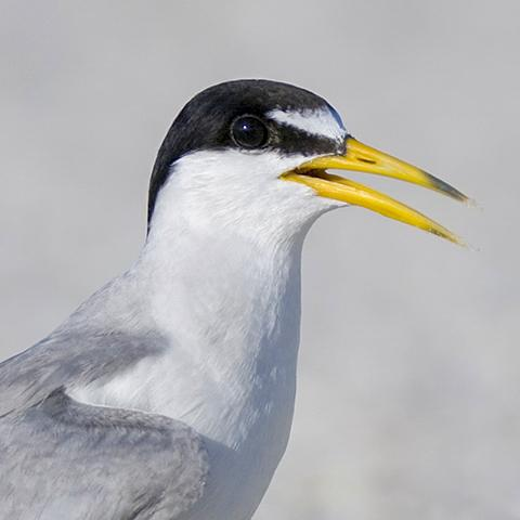 Image of least tern